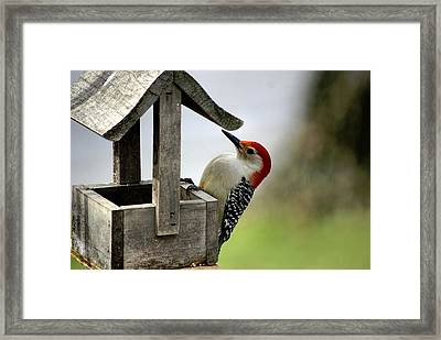 Red Bellied Woodpecker Framed Print by L Granville Laird