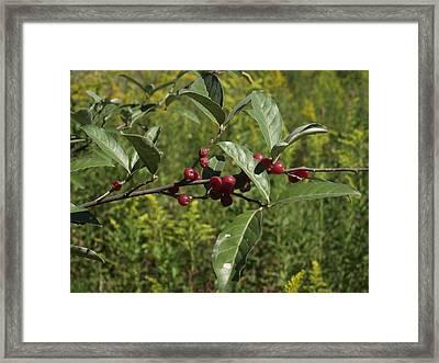 Red Berries Framed Print by Katherine Woods