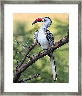 Red-billed Hornbill Framed Print by Tony Beck