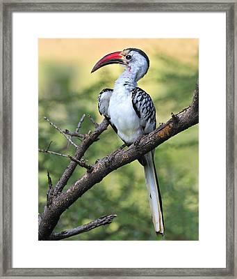 Red-billed Hornbill Framed Print