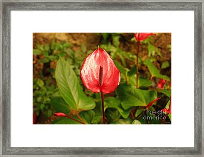 Red Bloom Framed Print