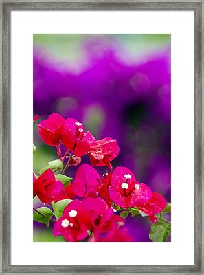 Red Bougainvillaeas Framed Print by Ron Dahlquist
