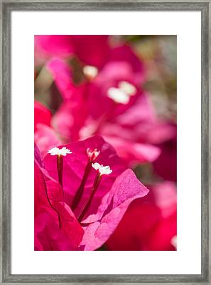 red Bougainvillea Framed Print