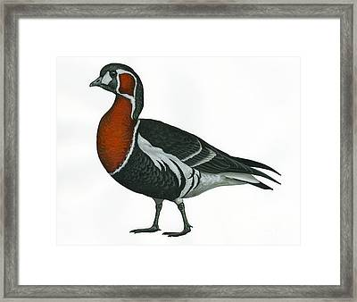 Red Breasted Goose Framed Print