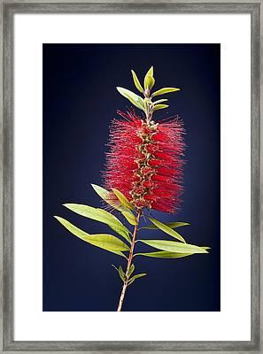 Red Brush Framed Print by Kelley King