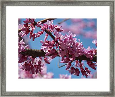 Red Bud In Bloom Framed Print by Kathleen Holley