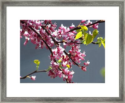 Red Bud In Blooms Framed Print by Alfred Ng
