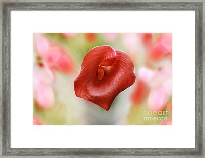 Red Calla Flower Framed Print by Anita Antonia Nowack
