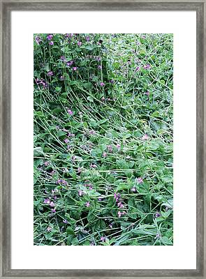 Red Campion (silene Dioica) Framed Print by Maxine Adcock