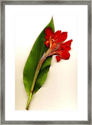 Red Canna Framed Print by JDon Cook