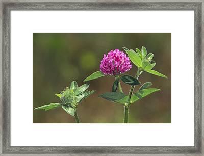 Red Clover Blossom Framed Print