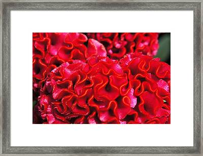 Red Cockscomb Flower Framed Print by Christopher Mullard