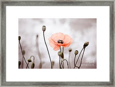 Red Corn Poppy Flowers 01 Framed Print by Nailia Schwarz