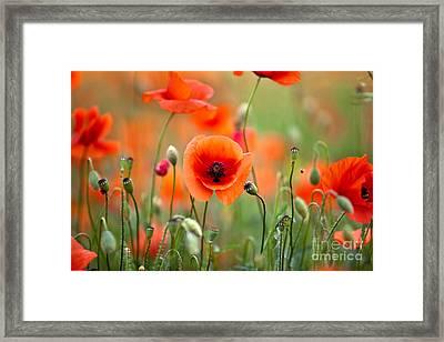 Red Corn Poppy Flowers 05 Framed Print by Nailia Schwarz