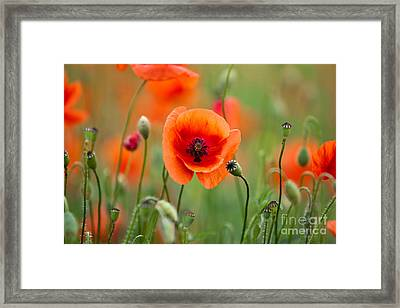 Red Corn Poppy Flowers 07 Framed Print by Nailia Schwarz