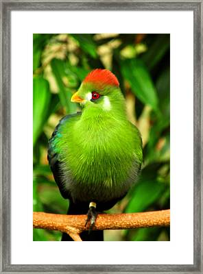 Red Crested Turaco Framed Print by Puzzles Shum