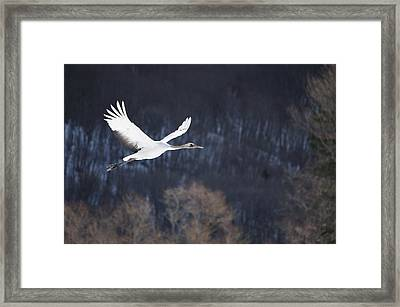 Red Crowned Crane Framed Print by Alexandre Shimoishi