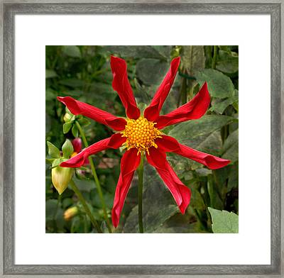 Red Dahlia Framed Print