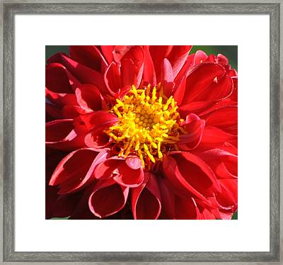 Framed Print featuring the photograph Red Dahlia by Jodi Terracina