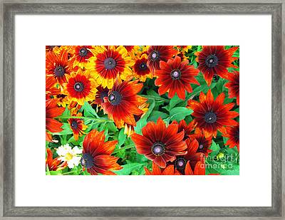 Framed Print featuring the photograph Red Daisies  by Bill Thomson