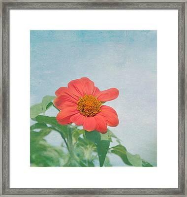 Red Daisy Flower Framed Print by Kim Hojnacki