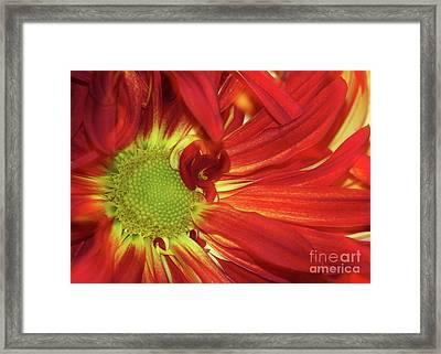 Red Daisy Too Framed Print by Sabrina L Ryan