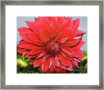 Red Dalia Framed Print