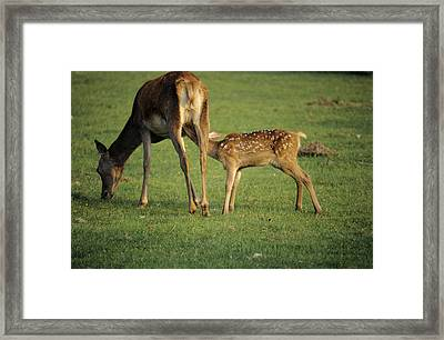 Red Deer Calf Suckling Framed Print by David Aubrey