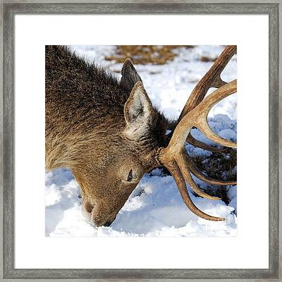Red Deer Stag Forages For Food Closeup Portrait  Framed Print by John Kelly