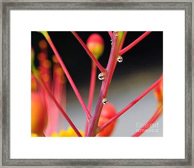 Red Dew Framed Print