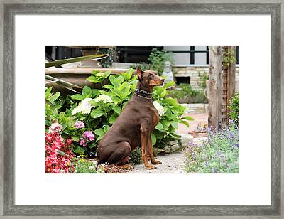Red Doberman In Church Garden Framed Print by Renae Laughner