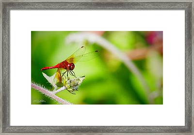 Red Dragon Fly Framed Print