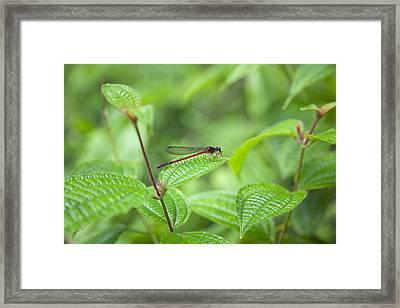 Red Dragonfly Framed Print by Jenna Szerlag