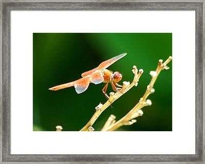 Red Dragonfly Framed Print by Meeli Sonn