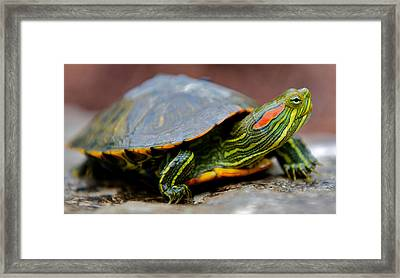 Red Eared Slider Turtle Side View Framed Print by Kelly Riccetti