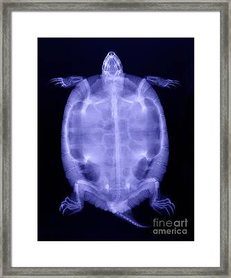 Red-eared Slider Turtle X-ray Framed Print