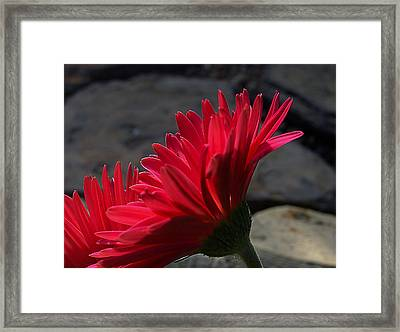Framed Print featuring the photograph Red English Daisy by Joe Schofield