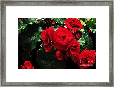 Red Ever Blooming Framed Print by Marsha Heiken
