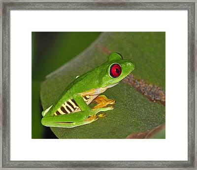Red-eyed Leaf Frog Framed Print by Tony Beck