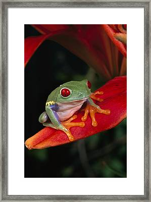 Red-eyed Tree Frog Agalychnis Callidryas Framed Print by Michael Durham