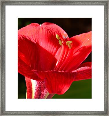 Framed Print featuring the photograph Red Faced Lily by Tanya Tanski