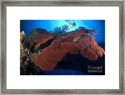 Red Fan Cora With Sunburst, Papua New Framed Print