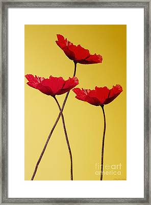 Red-flowered Corn Poppies Framed Print