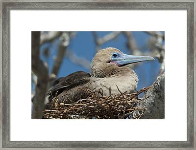 Red-footed Booby Sula Sula Sitting In A Framed Print