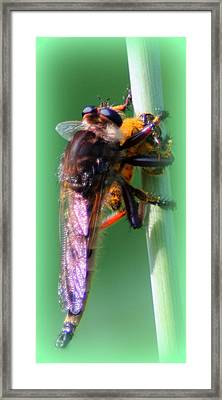 Red-footed Cannibal Fly With His Prey Framed Print by Maureen  McDonald