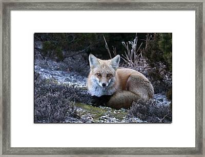 Red Fox Framed Print by Angele Marzi
