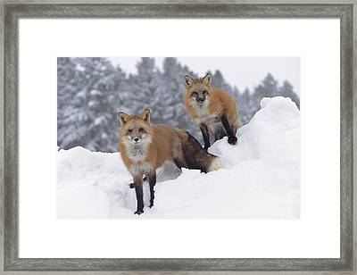 Red Fox Pair In Snow Fall Showing Framed Print by Tim Fitzharris