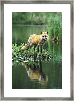 Red Fox Reflected In Lake Framed Print by Konrad Wothe