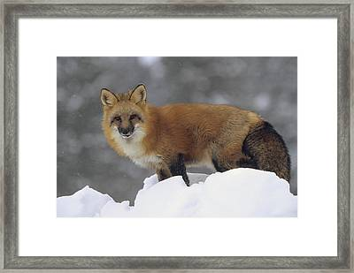 Red Fox Standing At The Top Of A Snow Framed Print by Tim Fitzharris