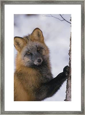 Red Fox Vulpes Vulpes Scratching Tree Framed Print by Michael Quinton